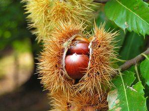 Корисні властивості каштана: меду, квіток і протипоказання до застосування