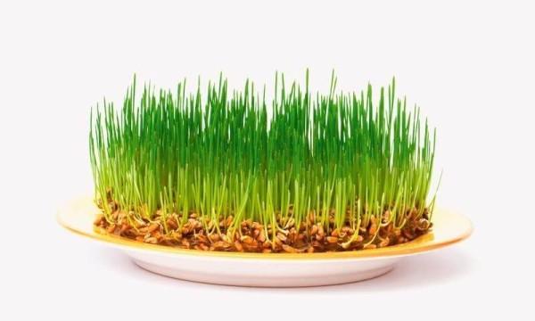 Пророщена пшениця: користь і шкода, поради лікарів, відгуки