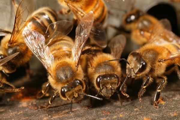 Бджолиний підмор: користь і шкода, як правильно приймати
