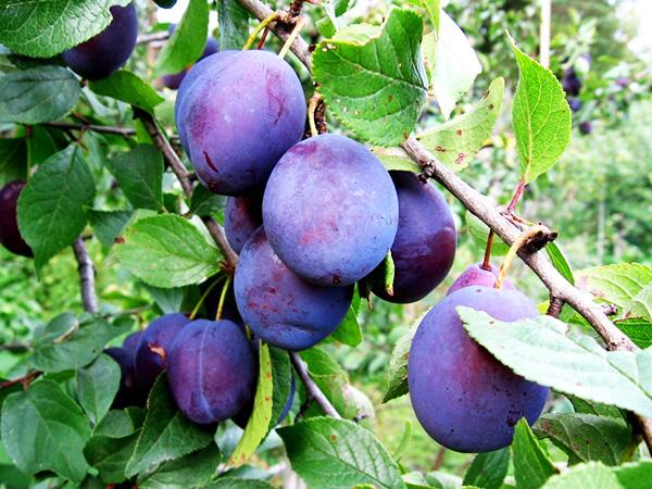 Зливу: це ягода або фрукт, дерево або чагарник?