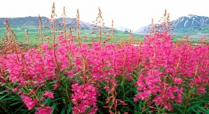 Іван-чай: корисні властивості і протипоказання трави